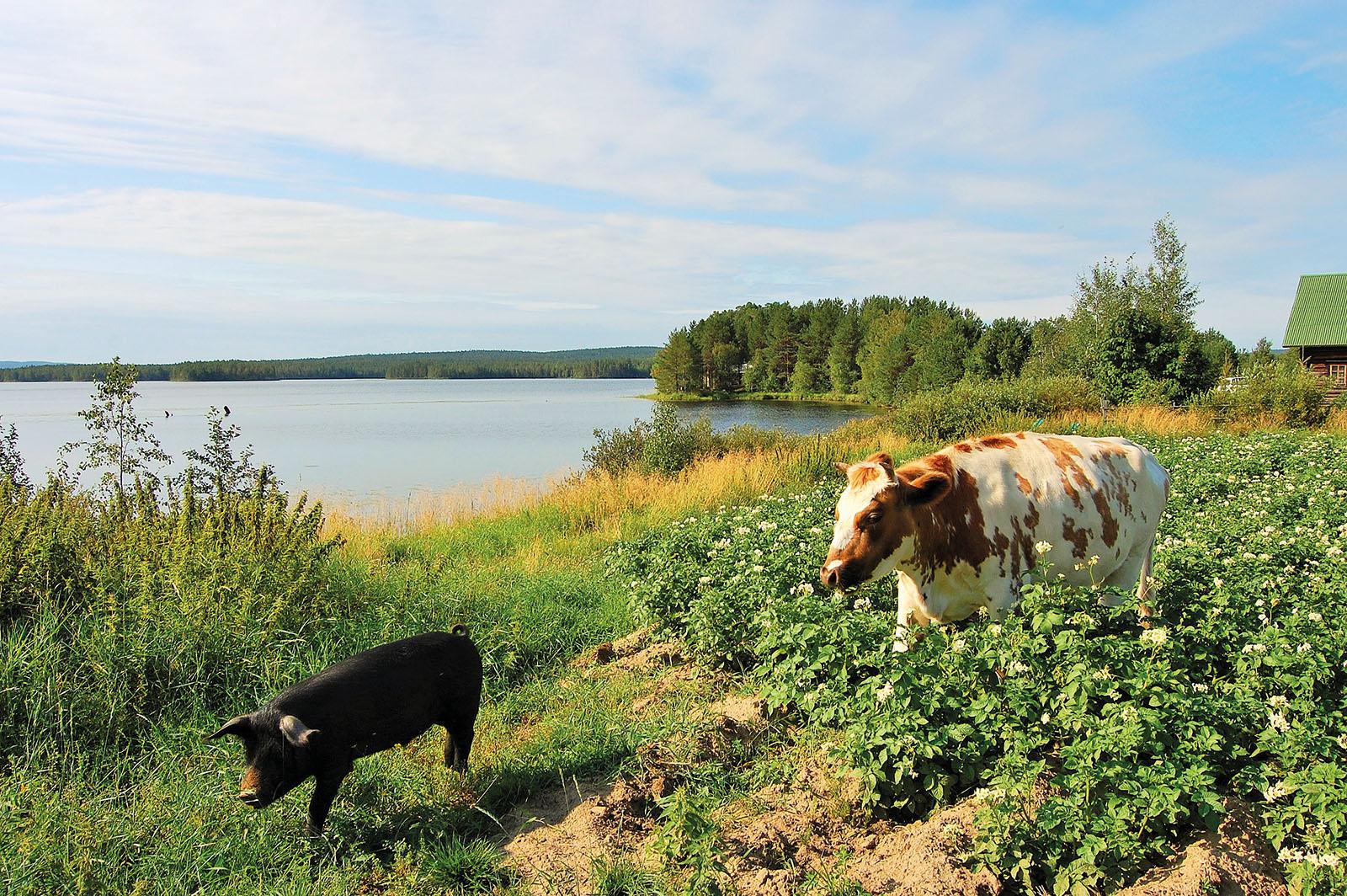 Kaksi lehmää käyskentelee järven rannalla, aurinko paistaa.