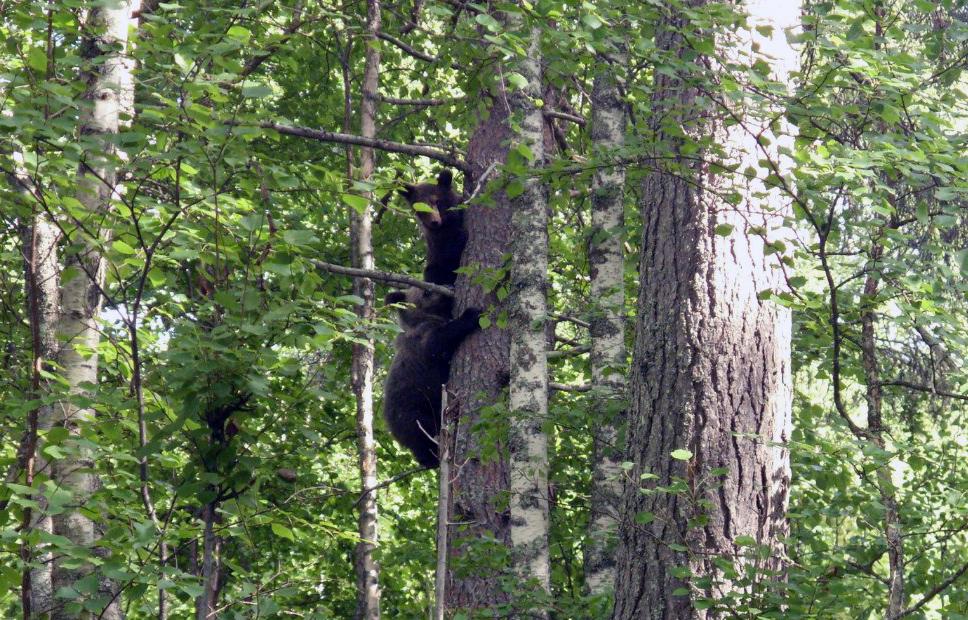 Kaksi karhunpoikasta on kiivennyt mäntyyn tiheässä metsikössä.