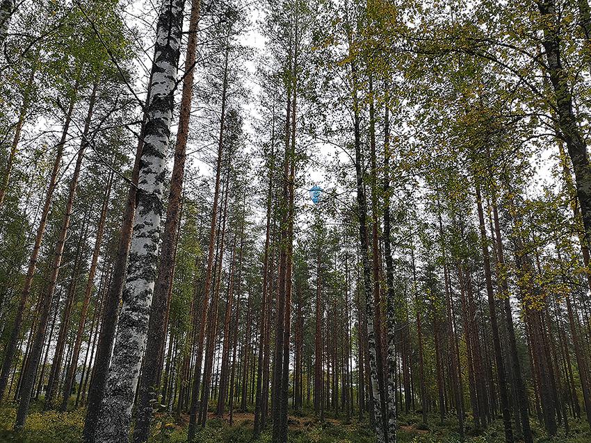 Puita metsässä, nuoria koivuja ja mäntyjä enimmäkseen