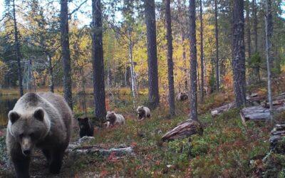 Viisi peräkkäin marssivaa karhua tallentui rajavalvontakameraan Kainuussa